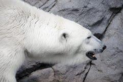 Cazador blanco del oso polar en el parque zoológico Imagen de archivo libre de regalías