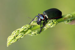 Cazador de Caterpillar (scrutator de Calosoma) fotografía de archivo