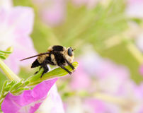 Cazador de la abeja en petunia Fotos de archivo