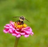 Cazador de la abeja encaramado en un Zinnia Foto de archivo libre de regalías
