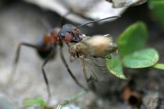 Cazador de la hormiga Foto de archivo libre de regalías