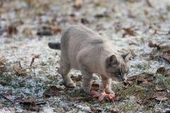 Cazador del gato Imagen de archivo libre de regalías