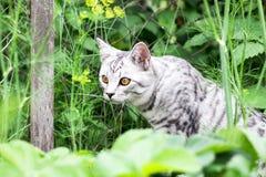 Cazador del gato en hierba en el fondo del jardín del verano Fotos de archivo