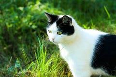 Cazador del gato, esperando, gato en la hierba, color blanco y negro del gato Imagen de archivo