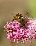 Cazador del polen Foto de archivo libre de regalías