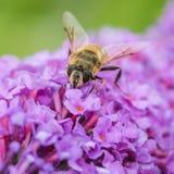 Cazador del polen Imagen de archivo
