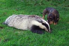 cazador Perro basset con un tejón Imagenes de archivo