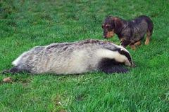 cazador Perro basset con un tejón Imagen de archivo libre de regalías