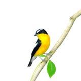 Cazamoscas amarillo-rumped Fotos de archivo libres de regalías