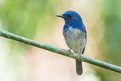 Cazamoscas azul de Hainan, pájaro Fotografía de archivo