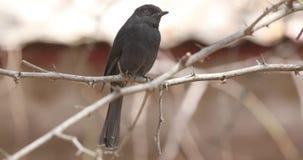 Cazamoscas negro septentrional en rama seca