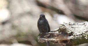 Cazamoscas negro septentrional en registro de madera