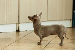 Cazaratones del pinscher del pequeño perro prazsky foto de archivo