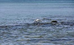 Cazas de la garza en piedras en el mar fotos de archivo libres de regalías