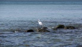 Cazas de la garza en piedras en el mar foto de archivo