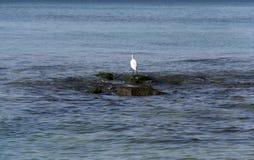 Cazas de la garza en piedras en el mar imagenes de archivo