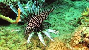 Cazas del Lionfish en el filón del mar del Caribe almacen de video