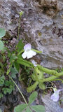 Cazorla violet. This flower only exists in Cazorla, its name is Cazorla violet Stock Photos