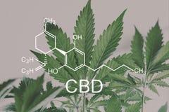 CBD??cannabidiol despancery?? 在大麻,cannabinoids的增长的大麻、CBD和THC元素 免版税库存照片
