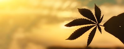 CBD Cannabis leaf close-up on background of setting sun with rays of light. Copy space. Thematic photos of hemp and ganja. Background image stock image
