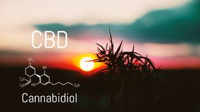 CBD chemical elements contained in the cannabis. Medical antispasmodic marijuana. Silhouette of hemp field in sunlight royalty free stock image