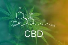 CBD Chemiczna formuła, kwiat i liście marihuany, zieleniejemy marihuany makro- Z kroplami woda na powierzchni prześcieradło odgór fotografia stock