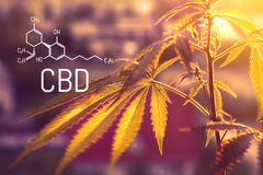 CBD formula, medical marijuana, alternative medicine. Cultivation of medicinal cannabis for the production of healthy tincture