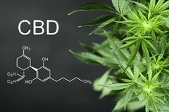 CBN chemical formula Beautiful background of green cannabis flowers A place for copy space. CBN Beautiful background green cannabis flowers copy space royalty free stock photos