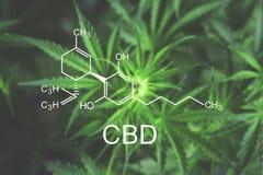 CBN chemische formulebloem van marihuanamacro aan het begin van het bloeien mooie hoogste mening als achtergrond Stock Fotografie