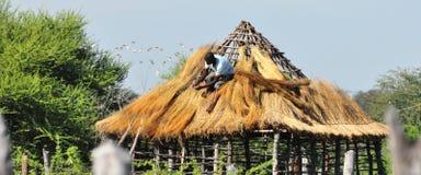 Cbrindo com sapê um telhado em Botswana rural, África imagens de stock