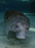 CC - Manatee Portrait Stock Photo