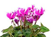 Cíclame cor-de-rosa da flor Fotos de Stock Royalty Free