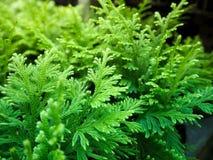 Cclose övre sikt av den gröna köttväxten En textur av den mycket lilla detaljerade gröna bladväxten Royaltyfri Bild