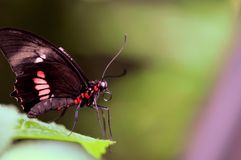 Ccommon rose butterfly on leaf Royalty Free Stock Photo