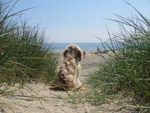 CCurious-Hundestrand, der in Sanddünen aufpasst stockfotografie