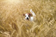 CDOG在麦子FILD掩藏 杰克罗素狗享用SUNSE 库存图片