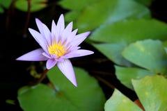 Ce beau waterlily ou la fleur de lotus pourpre est complimenté par les couleurs de drak de la surface profonde de l'eau bleue cou Photos stock