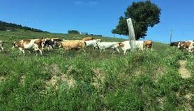 Ce groupe de vache me font riant Photographie stock