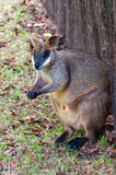 Wallaby de marais, Australie Photos libres de droits