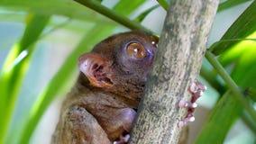 Tarsier, Bohol, Filipino. Ce minuscule animal – ses yeux sont 150 fois plus grands que ceux d'un homme proportionnellement à son corps royalty free stock images