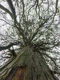 Ceader树 图库摄影
