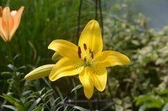 Ceae amarillos y anaranjados del ¡de Nymphaeà fotografía de archivo libre de regalías