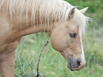 Ceamello half- wild stallions.liberty. Israel royalty free stock photo