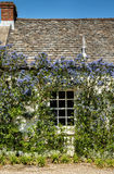 Ceanothus around a cottage window Stock Photos