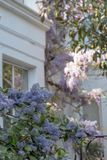 Ceanothus avec les fleurs bleues dans le premier plan Derrière est l'arbre de glycine en pleine floraison s'élevant en dehors d'u photos stock