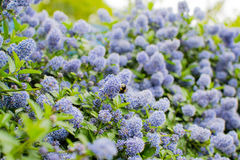Ceanothus with bees - California lilac Royalty Free Stock Photo