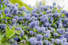 Ceanothus - California lilac Stock Photo