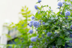 Ceanothus - California lilac Royalty Free Stock Photo