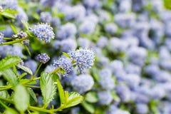 Ceanothus - California lilac Royalty Free Stock Photos