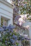 Ceanothus con i fiori blu in priorità alta Dietro è l'albero di glicine in piena fioritura che cresce fuori di una casa dipinta b Fotografie Stock